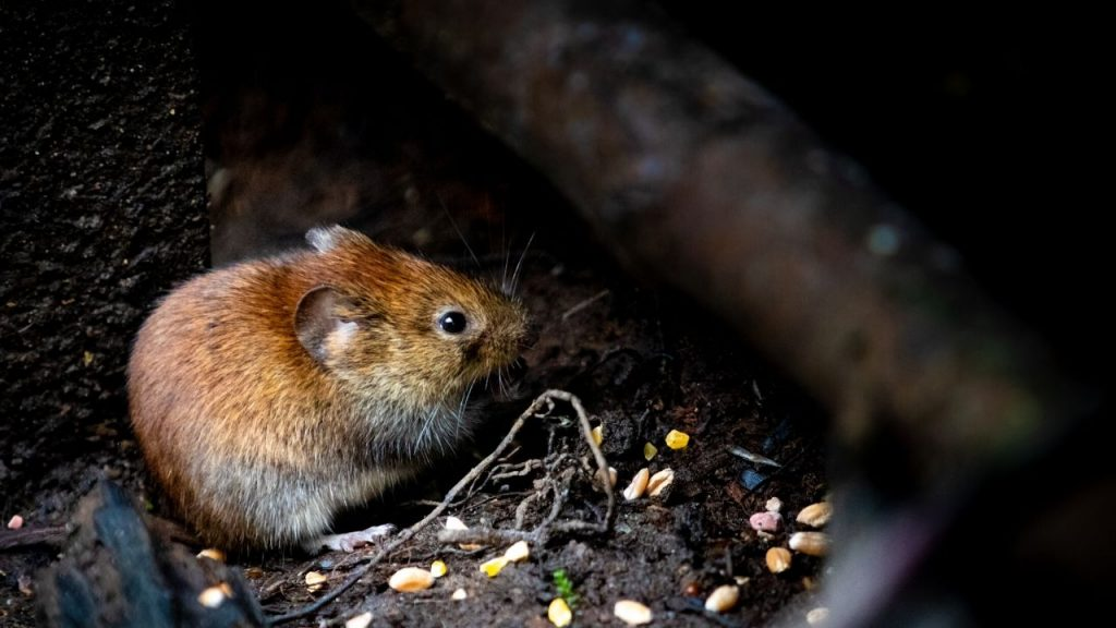 Rodent Control Service in Dhaka