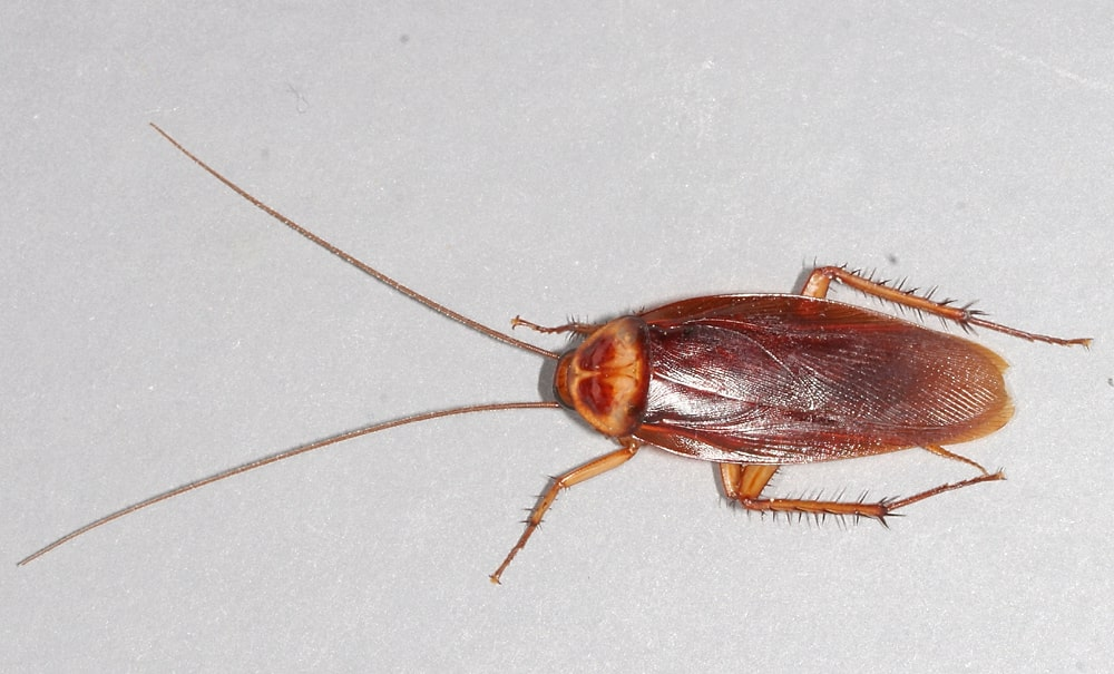 All you need to Know about House Cockroaches