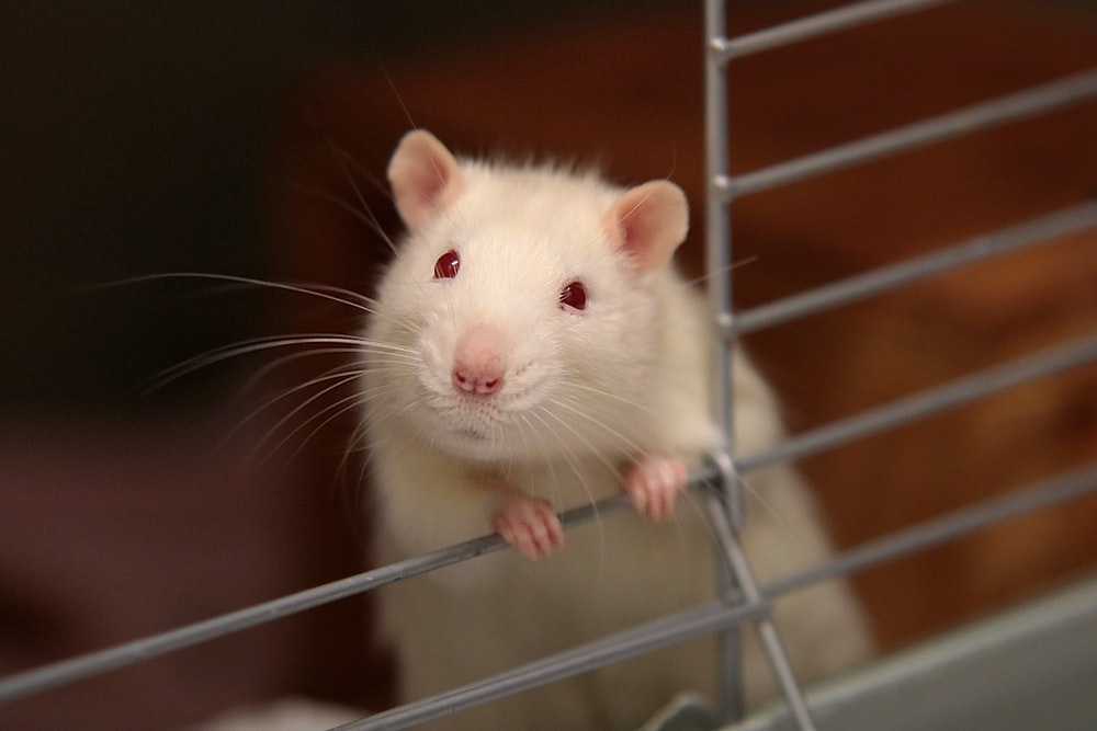 8 Home Remedies to Get Rid of Rats