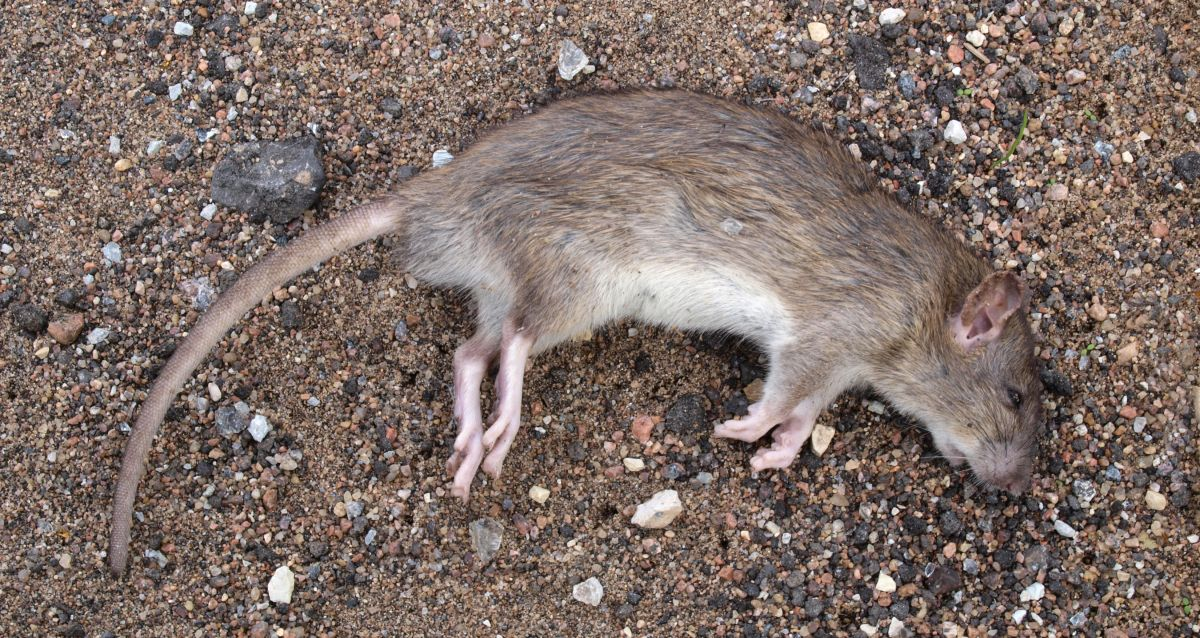 Home remedies to get rid of rats