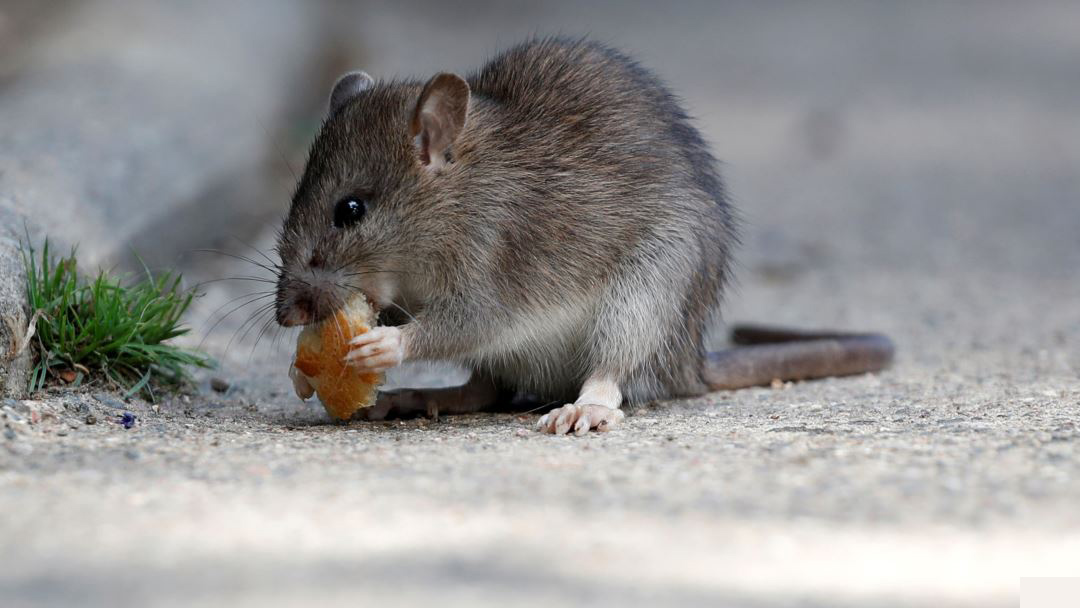 Things rats can Chew Through Easily